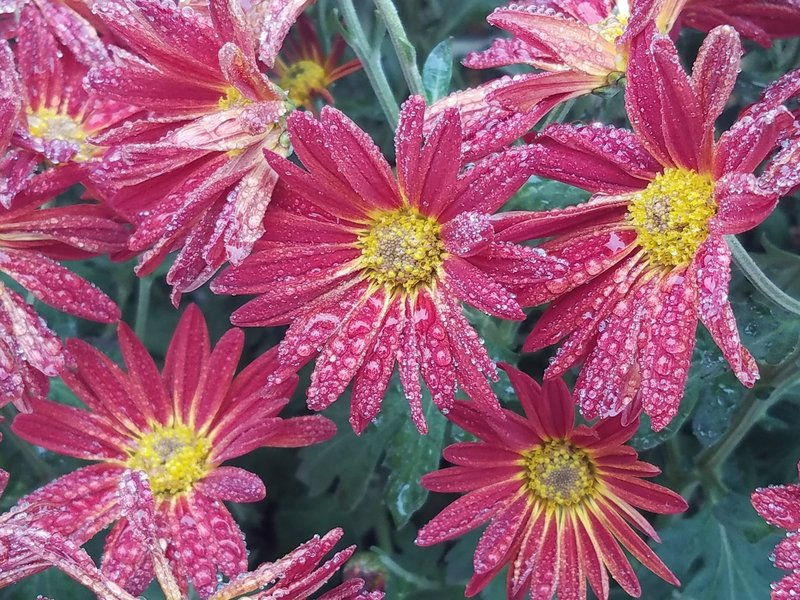 Aster with autumn morning dew. Near the Powell Gardens Visitors Center.