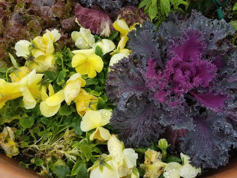 Cabbage and Pansies in November-Visitor's Center at Powell Gardens