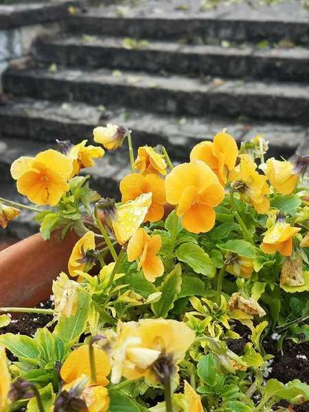 Pansies in a flower pot in November-Perennial Garden at Powell Gardens