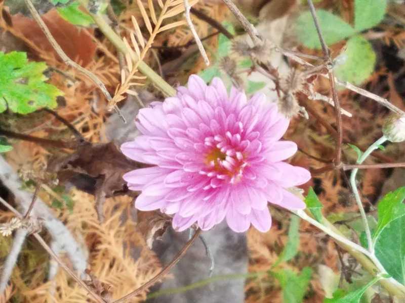 Lonely Mum in November-Perennial Garden at Powell Gardens