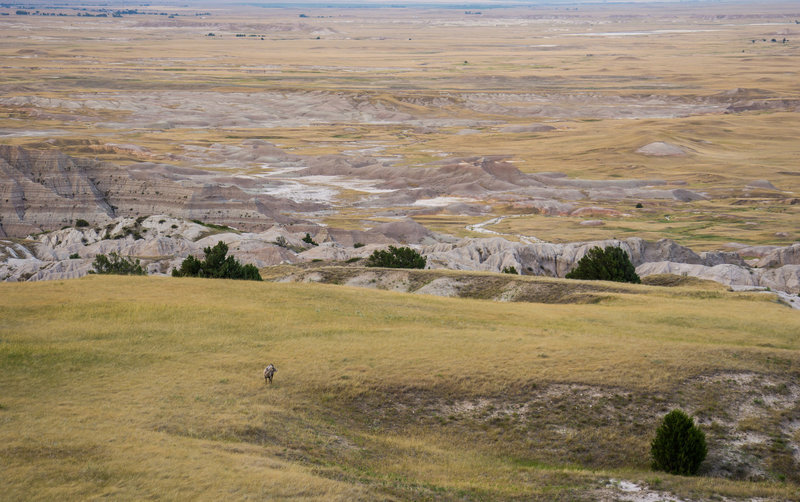 Sheep grazing the edge of the Badlands