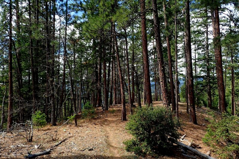 A grove of Ponderosa pines along the #918 Trail.