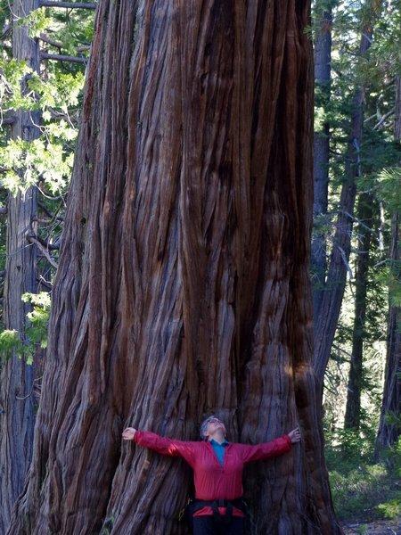 Really big cedars live in Cedar Basin