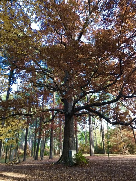 Majestic Red Oak with wide spread branches