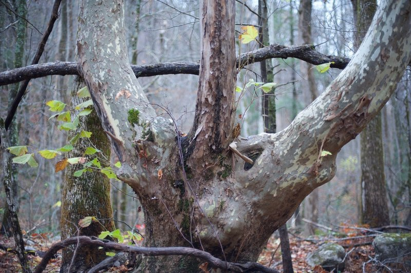 An old tree along the Twin Creeks Trail that looks like a 3 fingered hand.