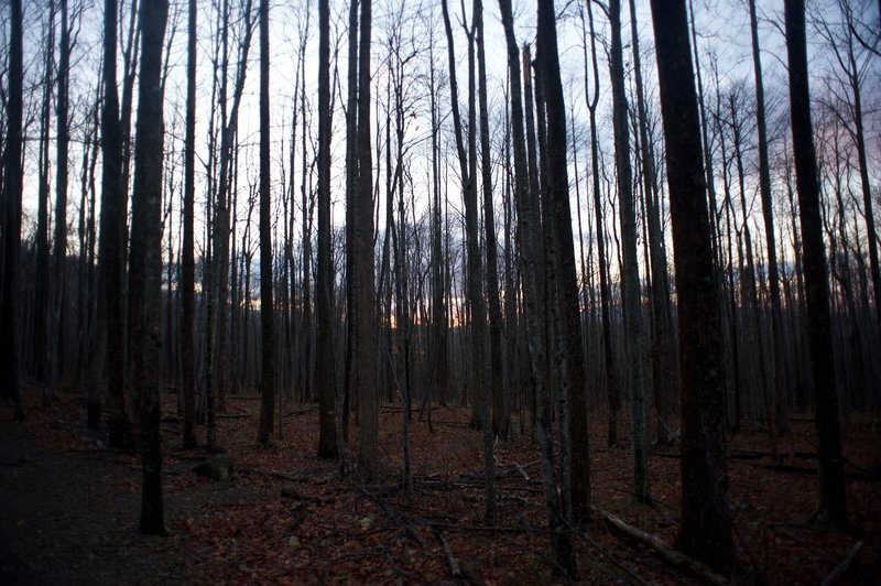 The forest as the sun sets in late fall.