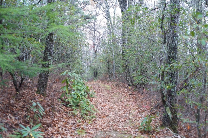 The trail as it makes its way through the woods.  The oak trees are large throughout the woods.