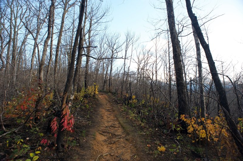 The trail emerges on a ridge that was burnt by the Chimney Fire in 2016.  New growth maple sprouts, evergreen trees, and other bushes can be seen as the forest begins healing.