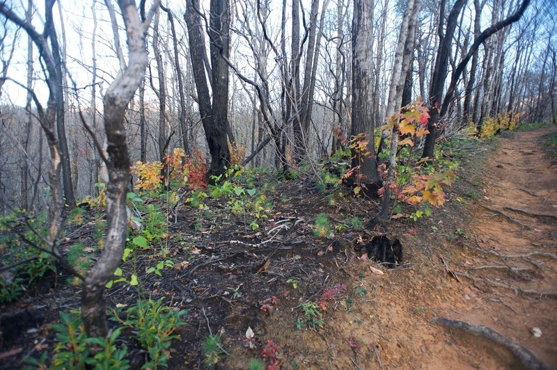 The trail runs along a section of forest burnt by the Chimney Fire in 2016. Its easy to see the new growth amongst the damaged trees.