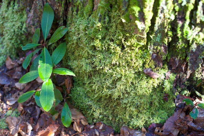 Moss and leaves surround the bottom of a tree.   The lower part of the trail is damp thanks to the creeks that run through the area, making it a suitable place for vegetation like this.