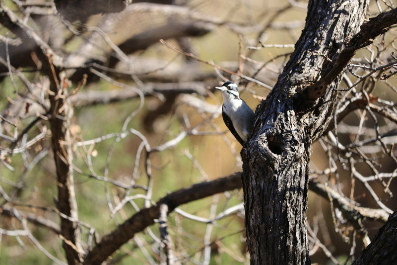 a beautiful woodpecker we met on the trail.