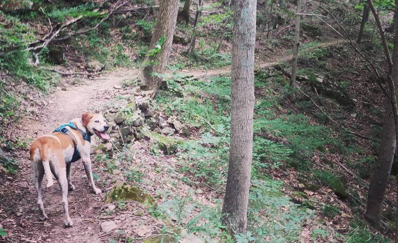 Rory the trail dog feeling the long ascents on Buffalo Trace Trail.