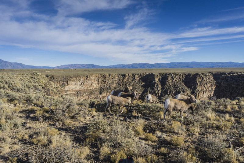 Bighorn Sheep on the rim of the Rio Grande Canyon