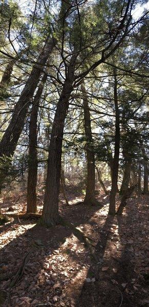 A lovely Hemlock grove on the ridge
