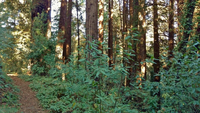 Redwood forest along the lower section of Oak Ridge Trail