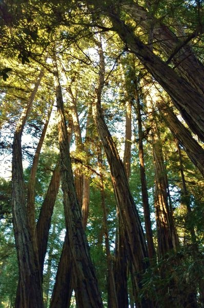 Redwood trees in the Twisted Grove twist as the grow to re-orient themselves after being upset by the 1989 Loma Prieta Earthquake, magnitude 6.9. Normally, redwoods grow straight as an arrow.