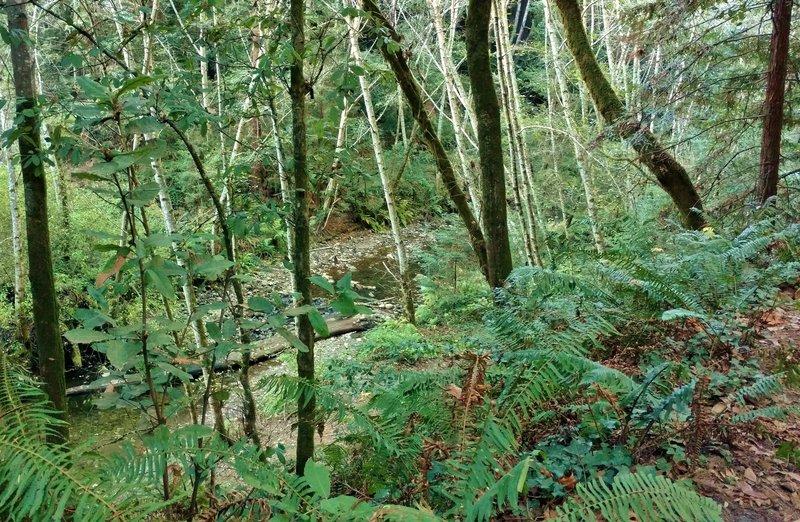 Aptos Creek below Aptos Rancho Trail, as the trail follows the creek upstream