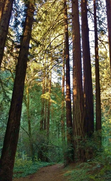 Aptos Rancho Trail travels through the redwoods of Forest of Nisene Marks State Park