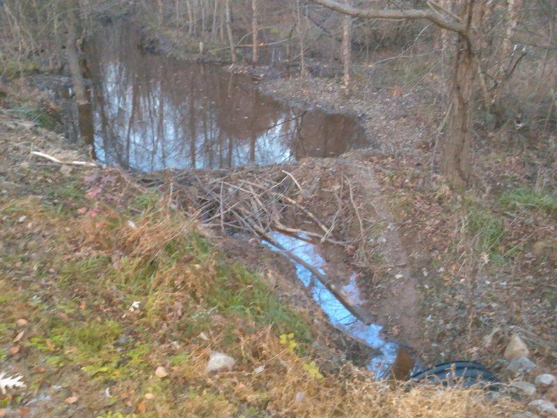 Beaver damn along Walnut Creek Greenway