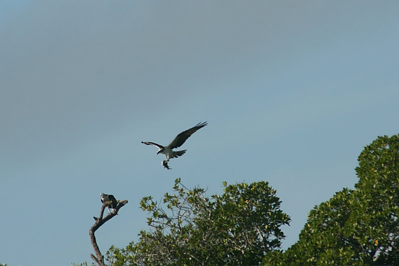Osprey Carrying a Fish