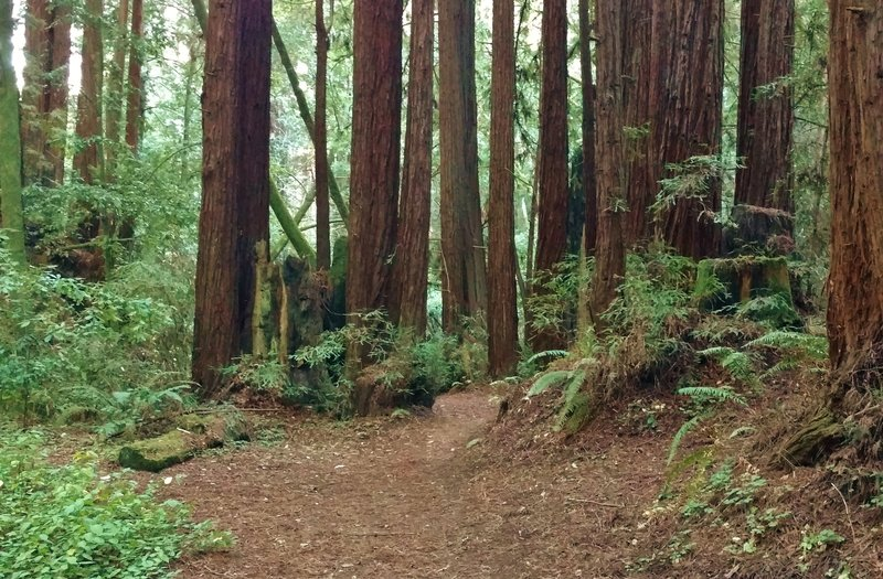 Vienna Woods Trail weaves its way through a clump of giant, stately redwoods, as it approaches Aptos Creek that is in the valley behind these redwoods.