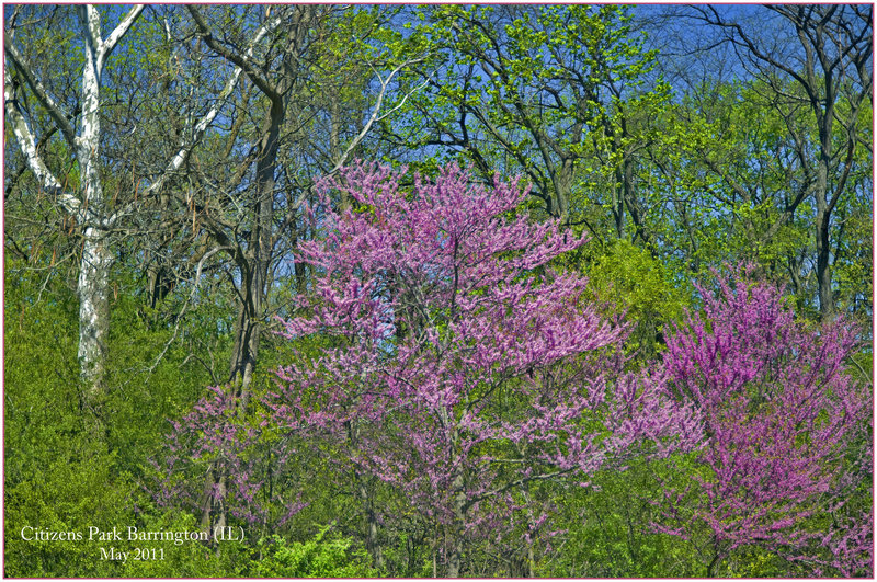 Spring -- Citizens Park Barrington (IL) May 2011