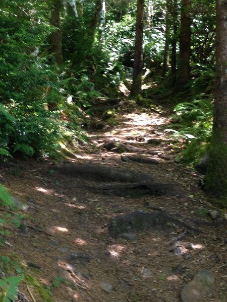 Roots and rocks along the Cummins Creek Loop trail