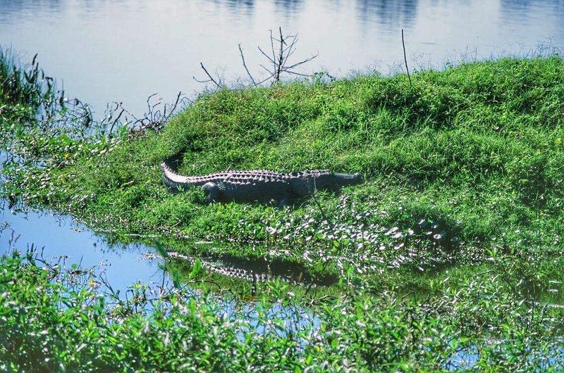 Lots of gators everywhere