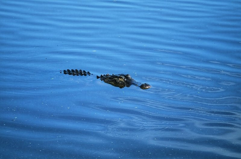 No shortage of alligators here