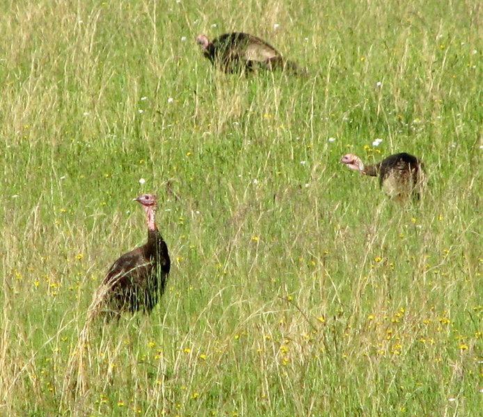 Wild Turkey, Cataloochie  Great Smokey National Park