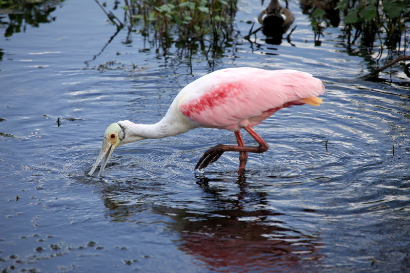 View of a Roseate Spoonbill from the Heron Hideout.