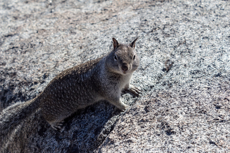 One of the abundant squirrels on Glacier Point