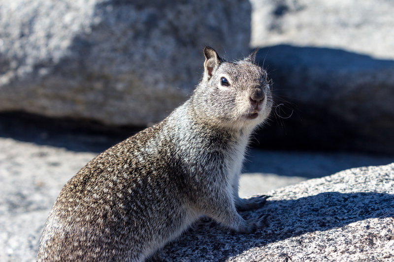 A squirrel on Glacier Point. Please don't feed them.
