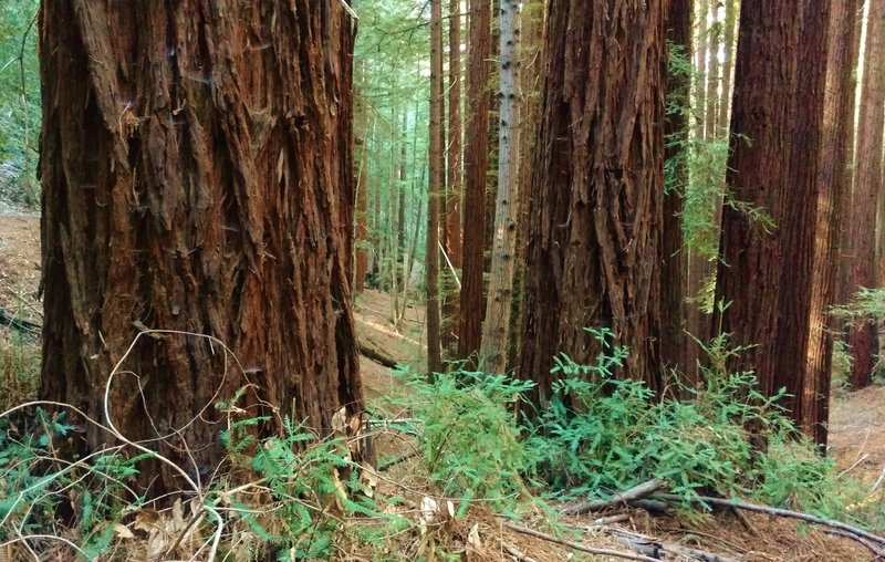 Redwood trees, giant redwood trees in the redwood forest along Aptos Creek Fire Road