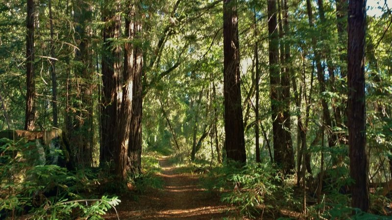 West Ridge Trail travels through the mixed redwood forest on a sunny, forested ridge.