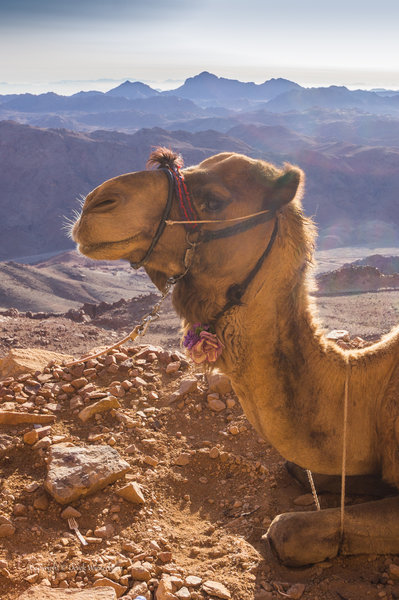 Camel on the mountain