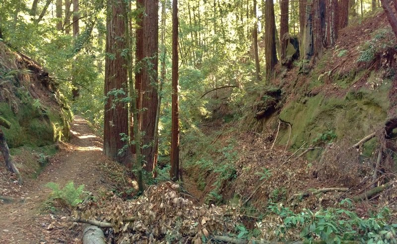 Loma Prieta Grade winds through the redwoods in a deep valley of Forest of Nisene Marks State Park.