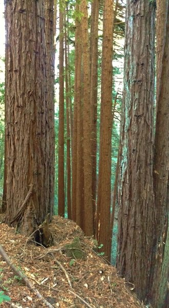 The redwood forest on a typical steep hillside, along Loma Prieta Grade