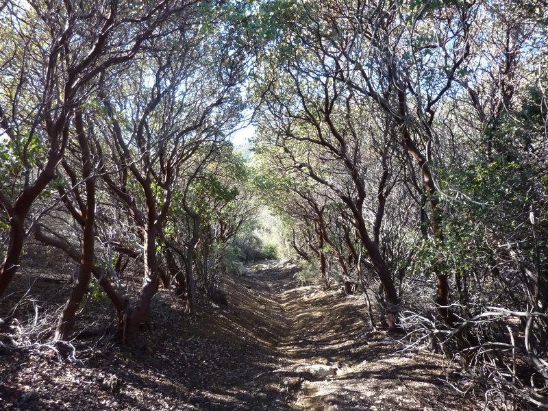 Old-growth manzanita forest on upper trail.