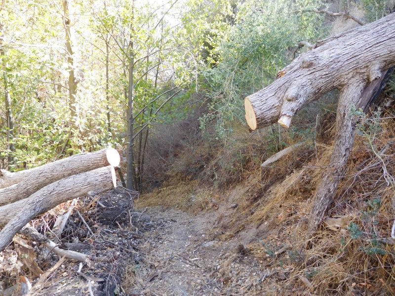Recently cleared fallen oak in canyon bottom.  USFS volunteers have been maintaining this trail.