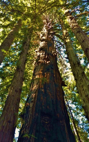 A HUGE (about 10 feet across) old growth redwood, escaped both logging and fire, to dominate the redwoods around it today.