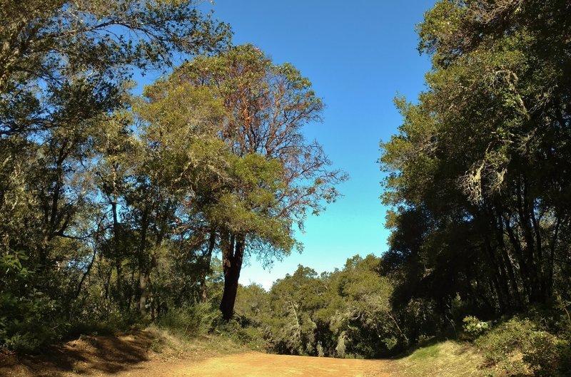 Manzanita and oaks along a high section of Aptos Creek Fire Road