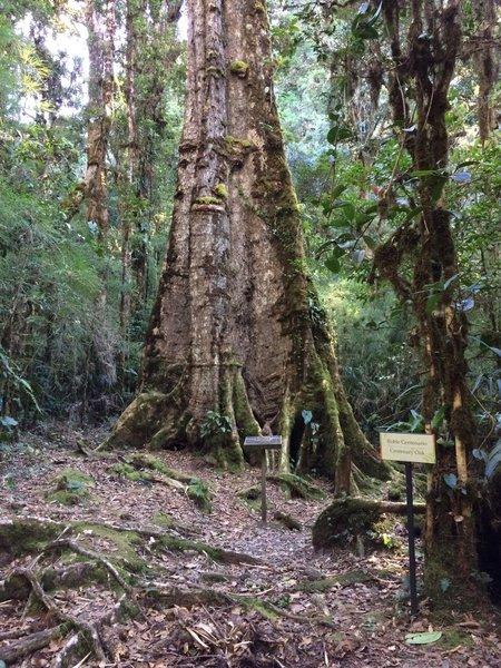 Centenary Oak