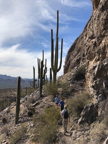 Fantastic saguaros near the summit