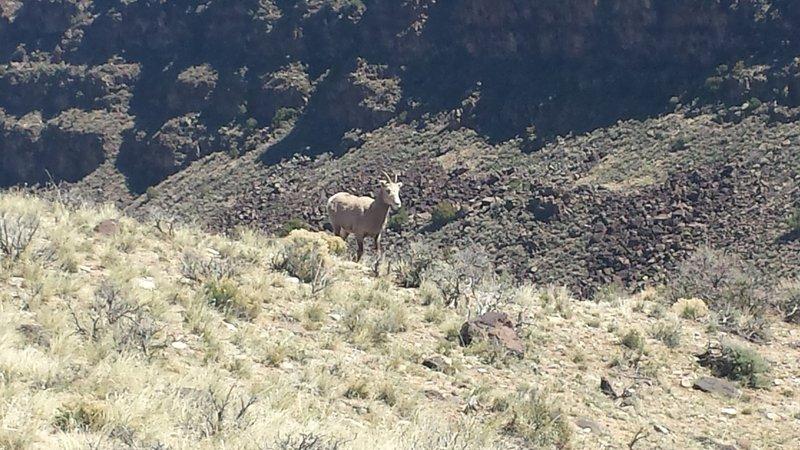 Big horn sheep!