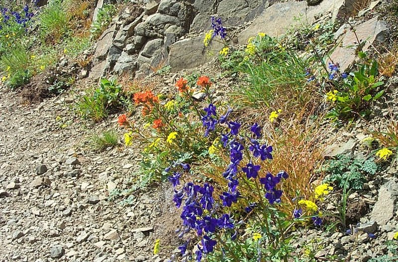 Wildflowers along Bald Mountain viewpoint.