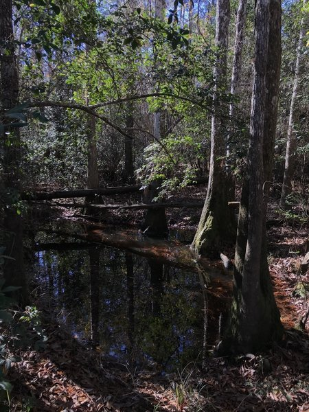 Cypress in still water along the trail