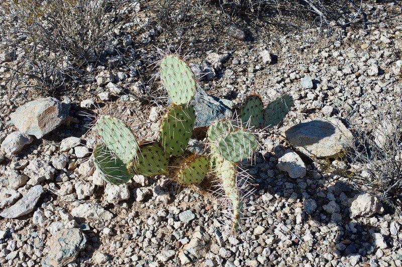 Engelmann's Prickly Pear Cacti sit along the trail.