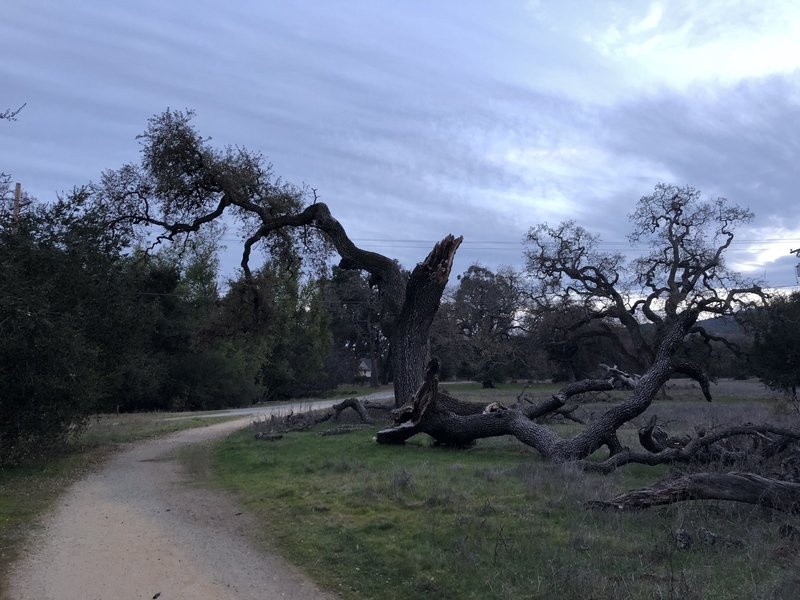 An old, broken tree sits along the trail as it approaches the service road that can take you back to the start of the trail.