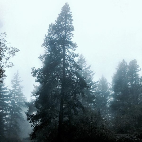 A sea of fog rolling over towering pines.